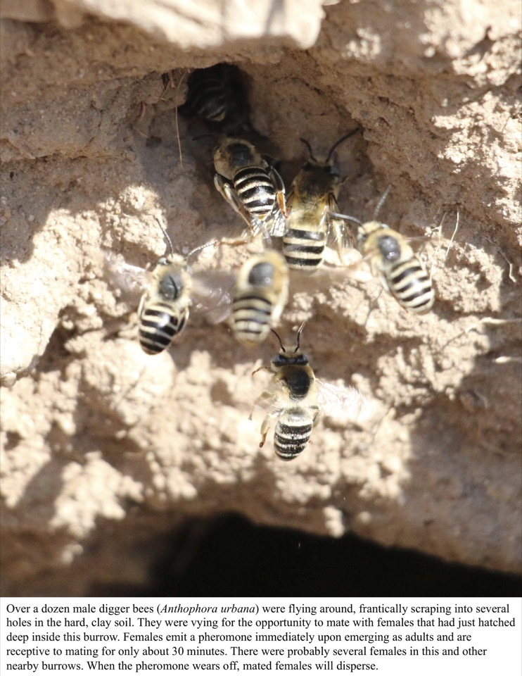 A dozen male digger bees were vying for the opportunity to mate with females that had just hatched deep inside this burrow.