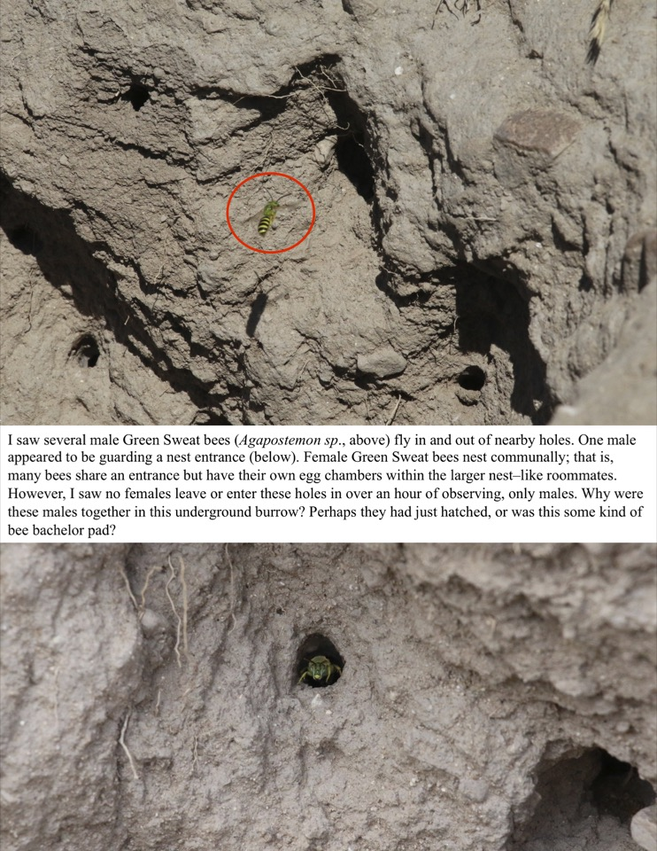 I saw several male Green Sweat bees fly in and out of nearby holes