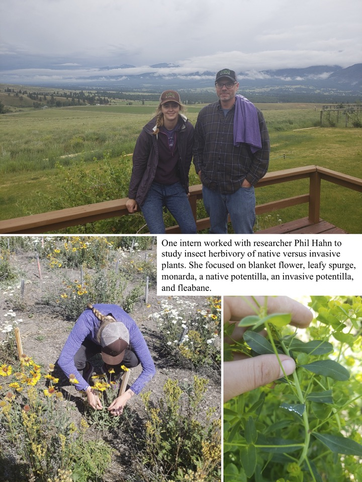 One intern worked with researcher Phil Hahn to study insect herbivory of native versus invasive plants