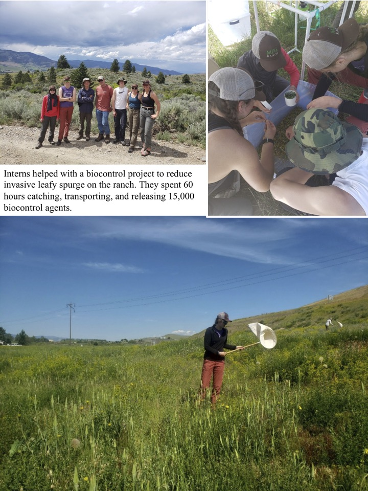 Interns helped with a biocontrol project to reduce invasive leafy spurge on the ranch