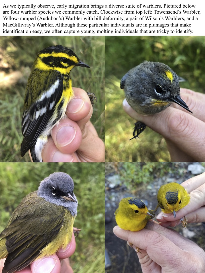 As we typically observe, early migration brings a diverse suite of warblers.