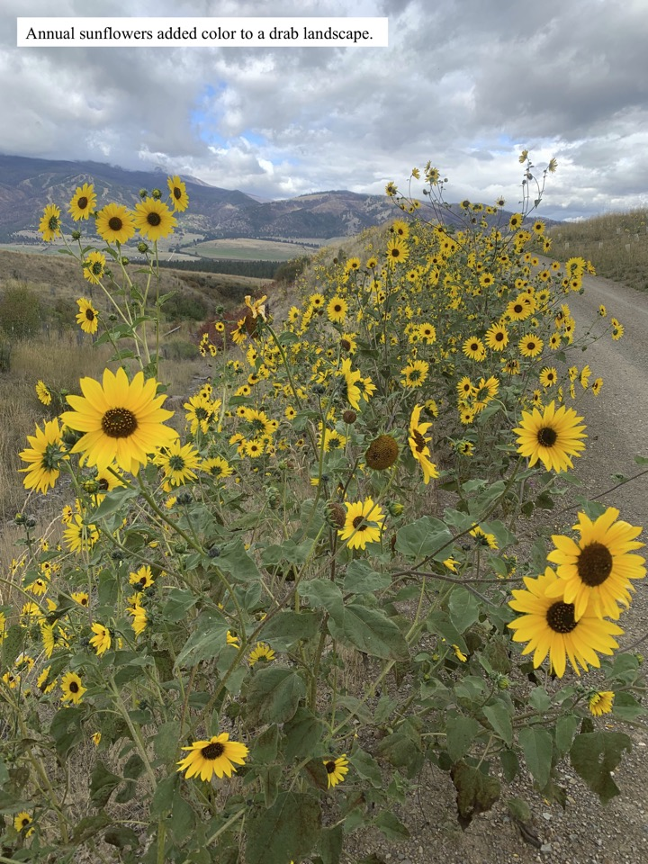 Annual sunflowers added color to a drab landscape.