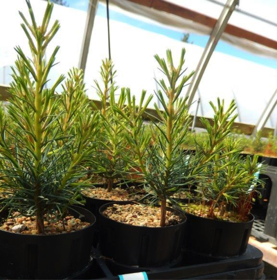 Western White Pine Fungal Inoculation Project