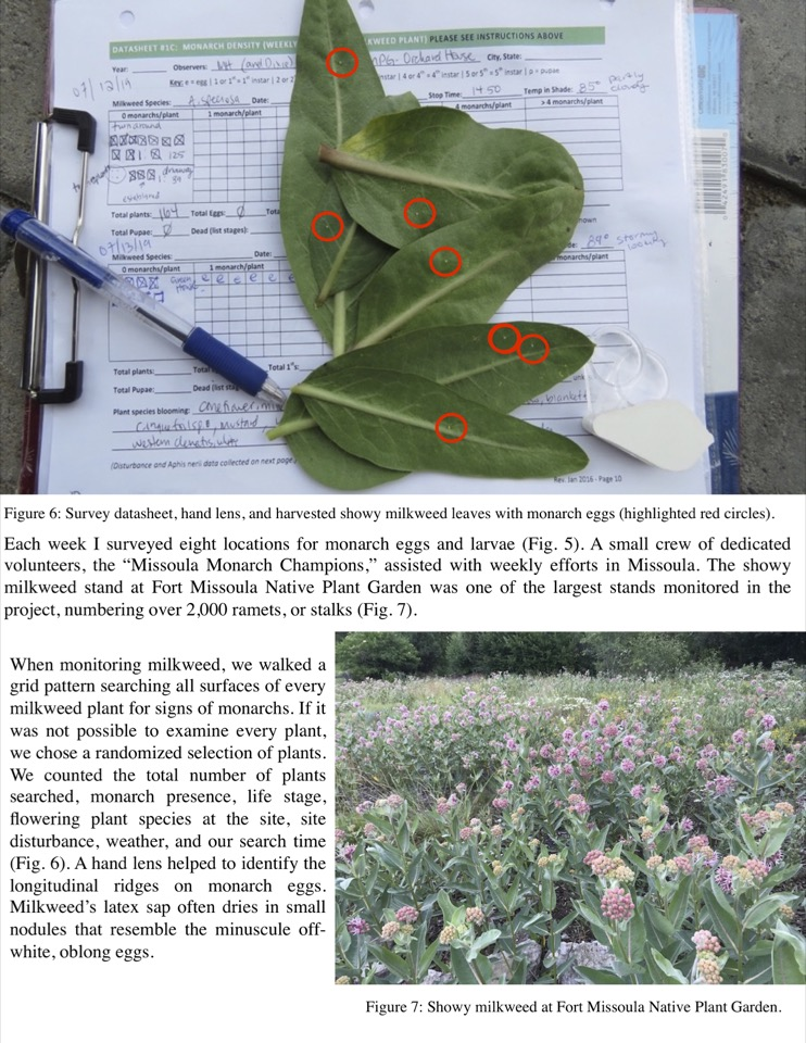 When monitoring milkweed, we walked a grid pattern searching all surfaces of every milkweed plant for signs of monarchs.