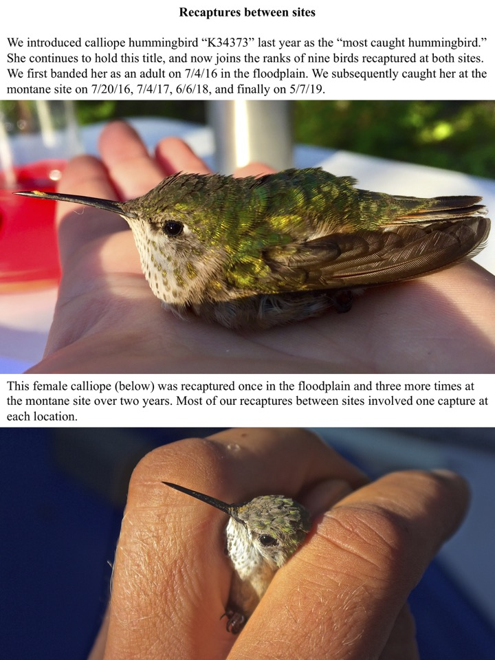 "We introduced calliope hummingbird ""K34373"" last year as the ""most caught hummingbird."" She continues to hold this title"