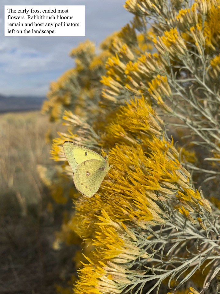 Rabbitbrush blooms remain and host any pollinators left on the landscape.