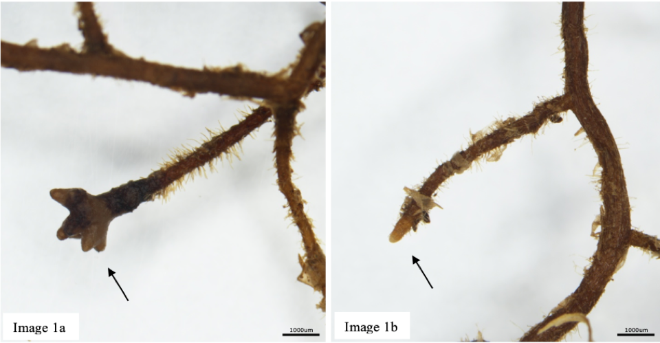 Ectomycorrhizal fungi (EMF) form mutualistic relationships with plant root tips