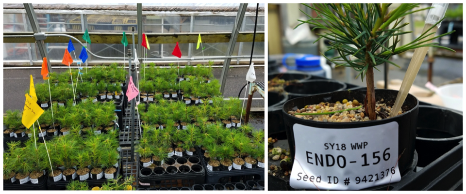 In September 2019, a small subset of western white pine seedlings from the DGRC experiment were harvested to evaluate the effectiveness of our EMF inoculations earlier this year