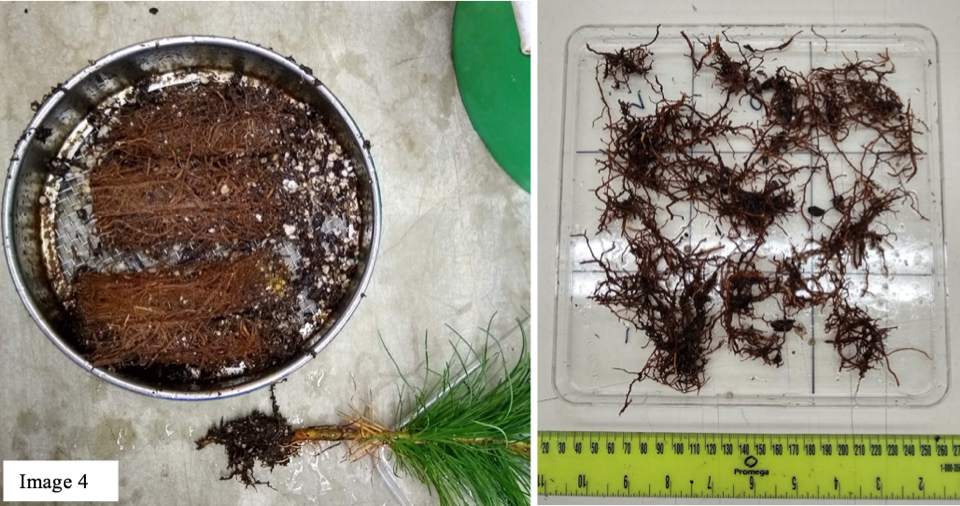 Each root system was cut into multiple pieces and rinsed with water to remove the soil.