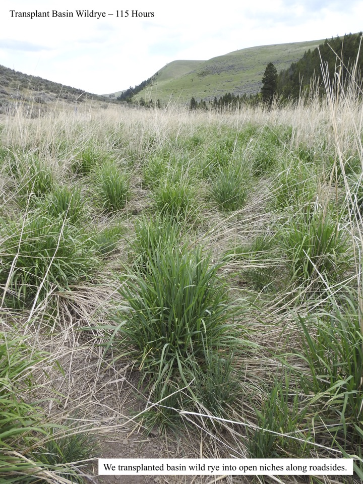 We transplanted basin wild rye into open niches along roadsides.