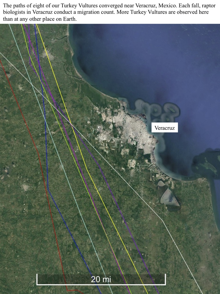 The paths of eight of our Turkey Vultures converged near Veracruz, Mexico.
