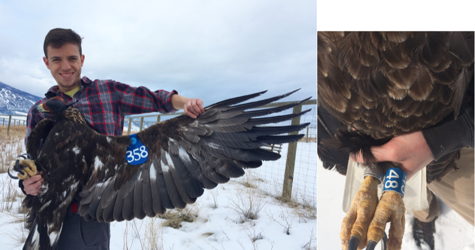 We equip some Golden Eagles with wing tags (left) while Bald Eagles may receive a color band (right).