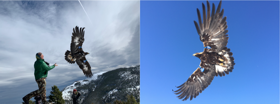 A researcher releases a Golden Eagle after receiving wing tags at our banding stations on the Rocky Mountain Front (left) and MPG Ranch (right).