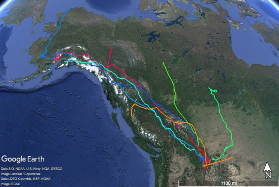 Migration tracks of eagles outfitted with satellite transmitters in the Bitterroot Valley, MT, show that some birds migrate deep into Canada and Alaska.