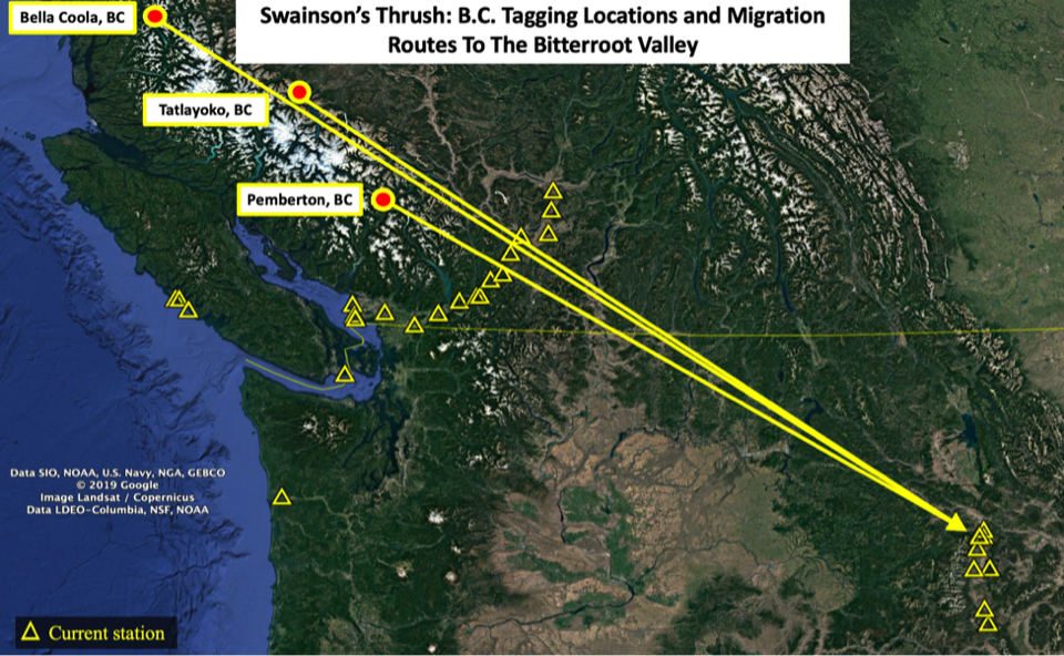Swainson's Thrush B.C. Tagging Locations and Migration Routes To The Bitterroot Valley