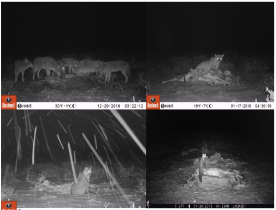 The trail cameras reveal a variety of scavengers at our bait stations.