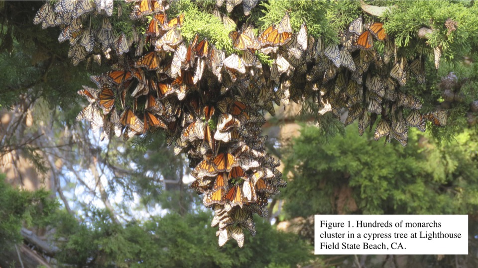 Figure 1. Hundreds of monarchs cluster in a cypress tree at Lighthouse Field State Beach, CA.