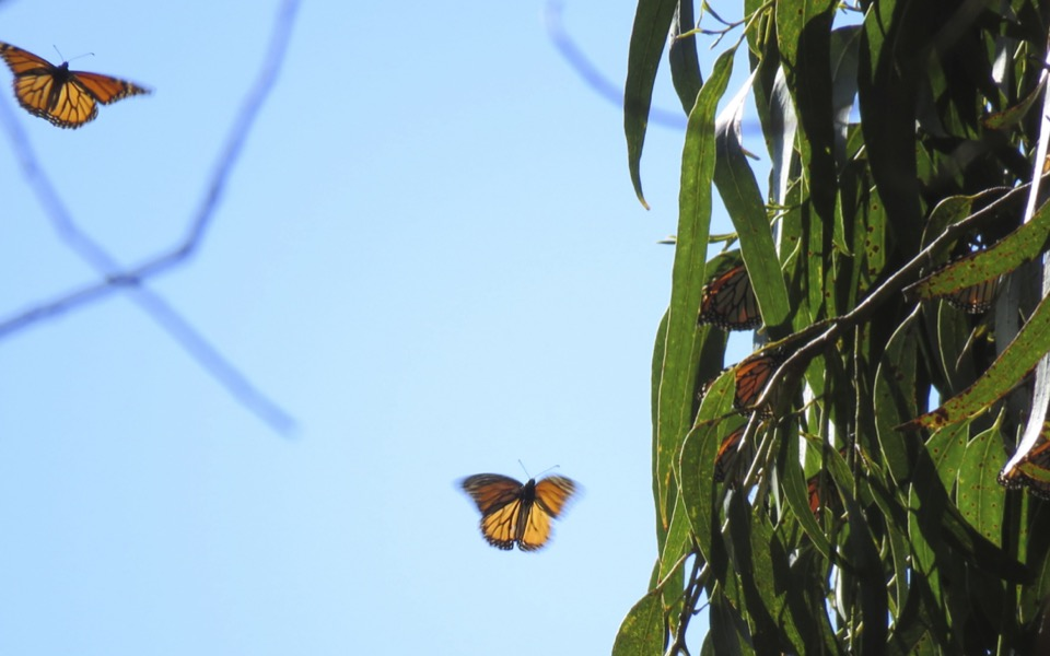 Figure 2: Monarchs land on a eucalyptus branch at Pacific Grove, CA.
