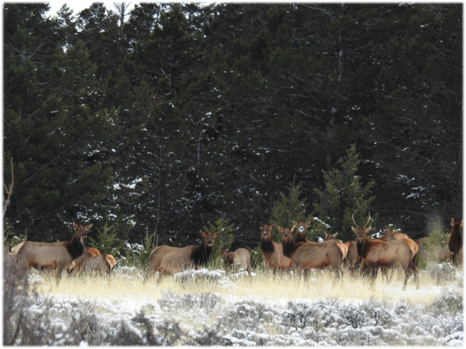 A herd of elk on MPG Ranch
