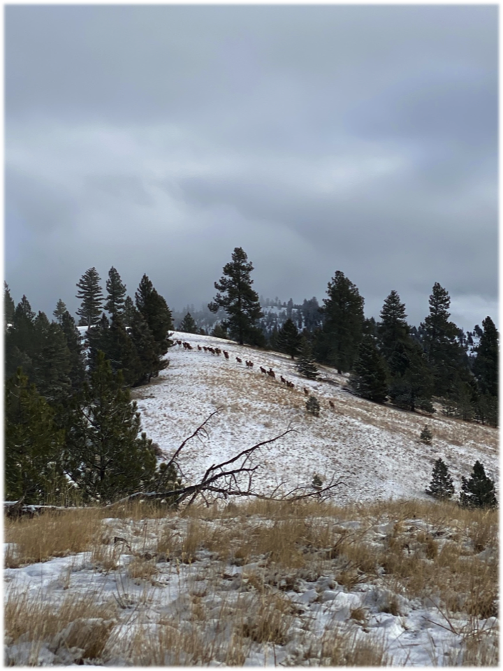 Elk move toward timber on MPG Ranch, January, 2020.