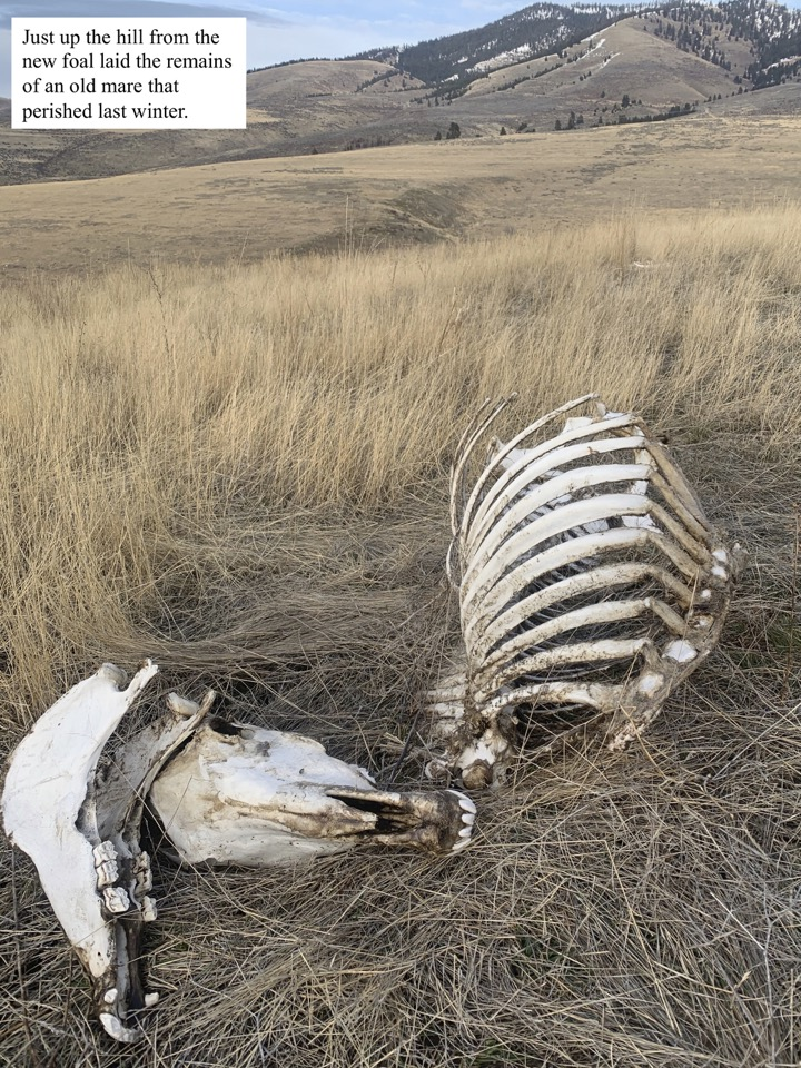 Just up the hill from the new foal laid the remains of an old mare that perished last winter.