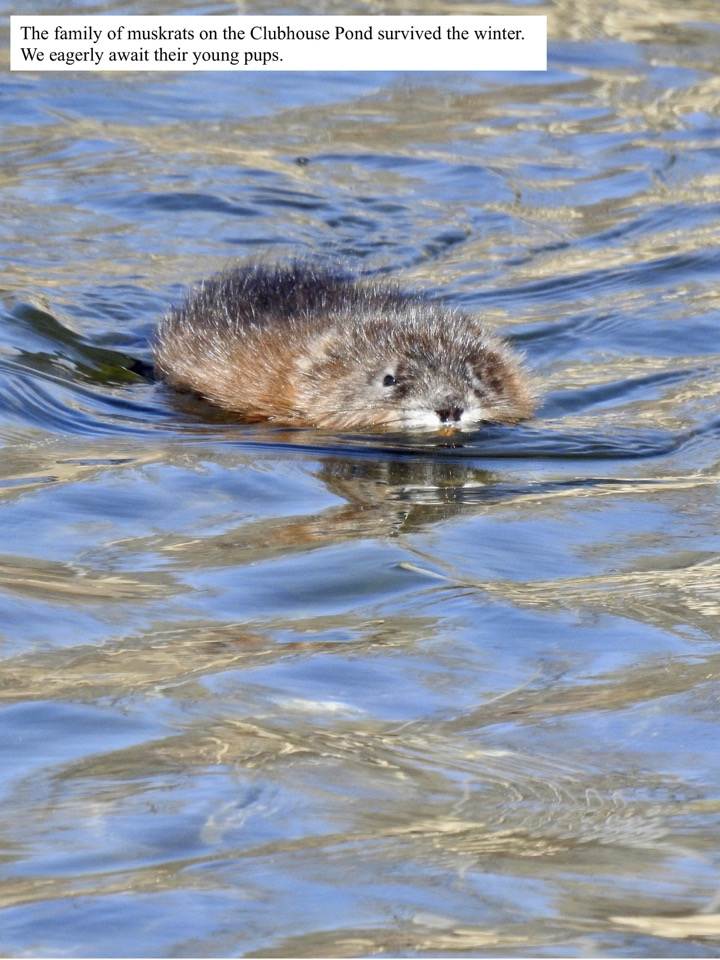 The family of muskrats on the Clubhouse Pond survived the winter.