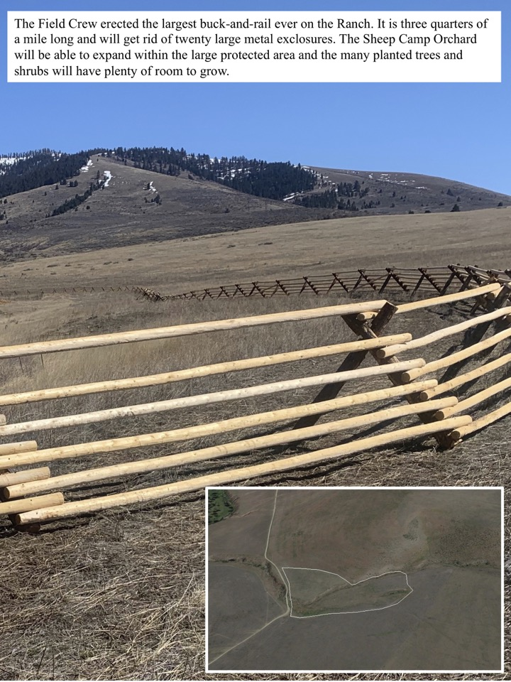 The Field Crew erected the largest buck-and-rail ever on the Ranch.