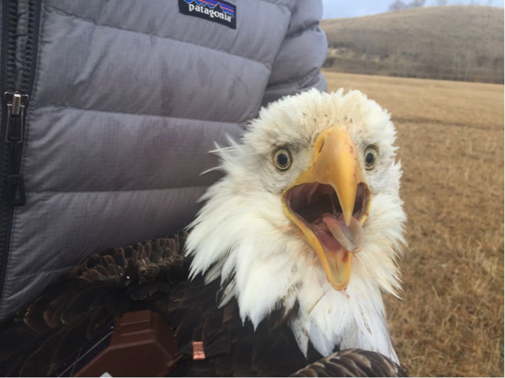 Meet Relish! She's an adult Bald Eagle who winters in the Bitterroot Valley. We banded her in January 2019, outside of Hamilton, Montana, where she received a satellite transmitter and colored leg band #57.