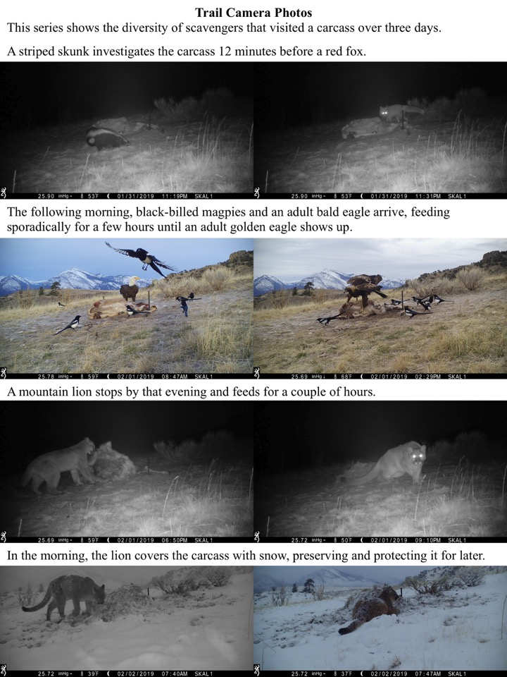 This series shows the diversity of scavengers that visited a carcass over three days.