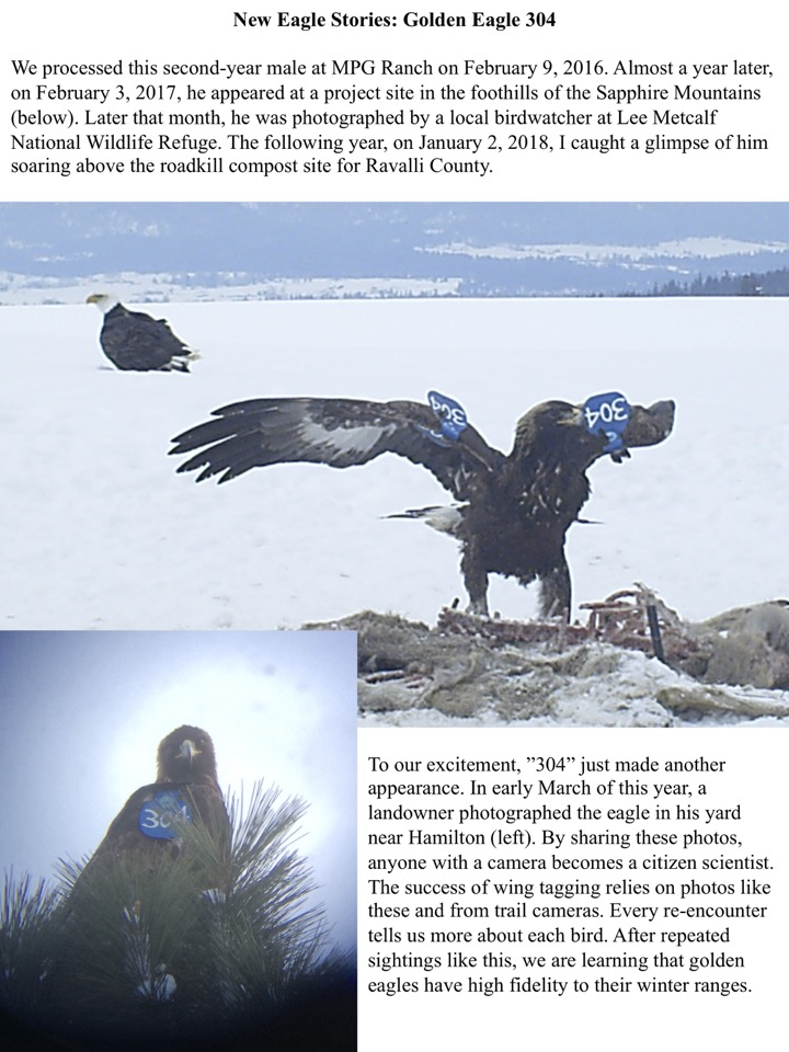 we are learning that golden eagles have high fidelity to their winter ranges.