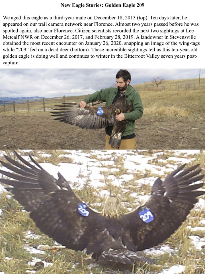 These incredible sightings tell us this ten-year-old golden eagle is doing well and continues to winter in the Bitterroot Valley seven years post- capture.