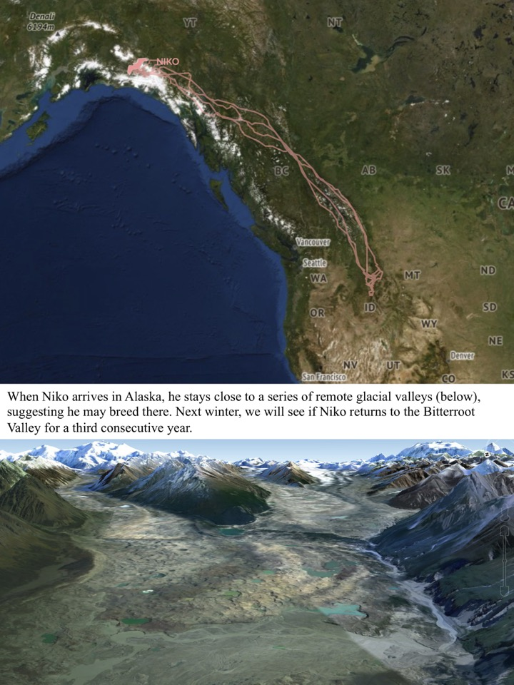 When Niko arrives in Alaska, he stays close to a series of remote glacial valleys, suggesting he may breed there.