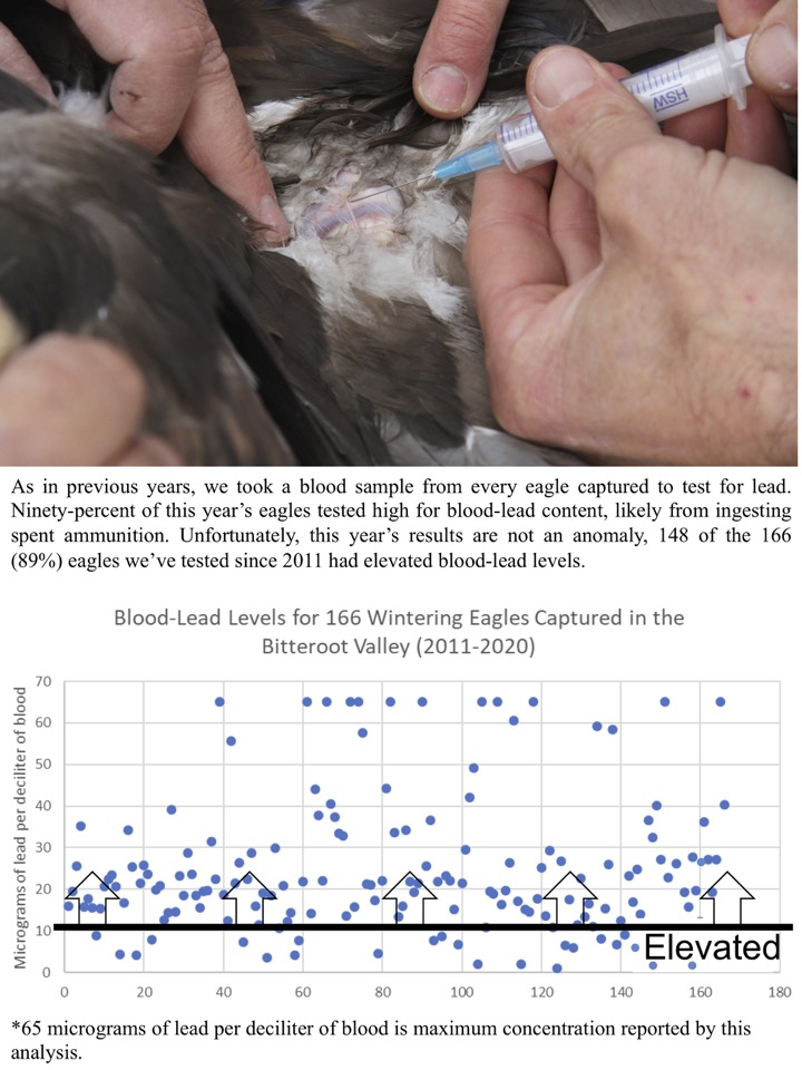 Ninety-percent of this year's eagles tested high for blood-lead content, likely from ingesting spent ammunition.