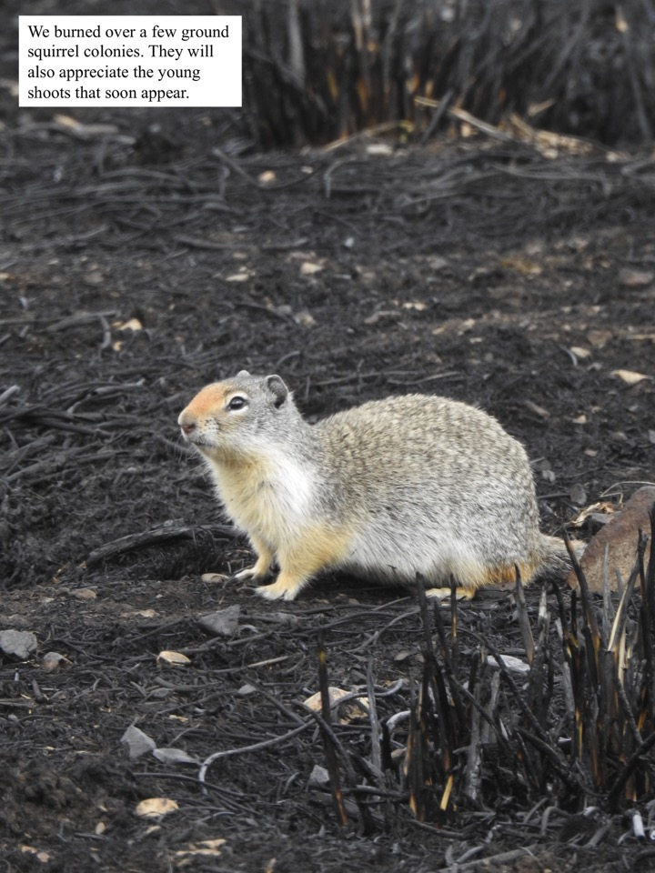 We burned over a few ground squirrel colonies.