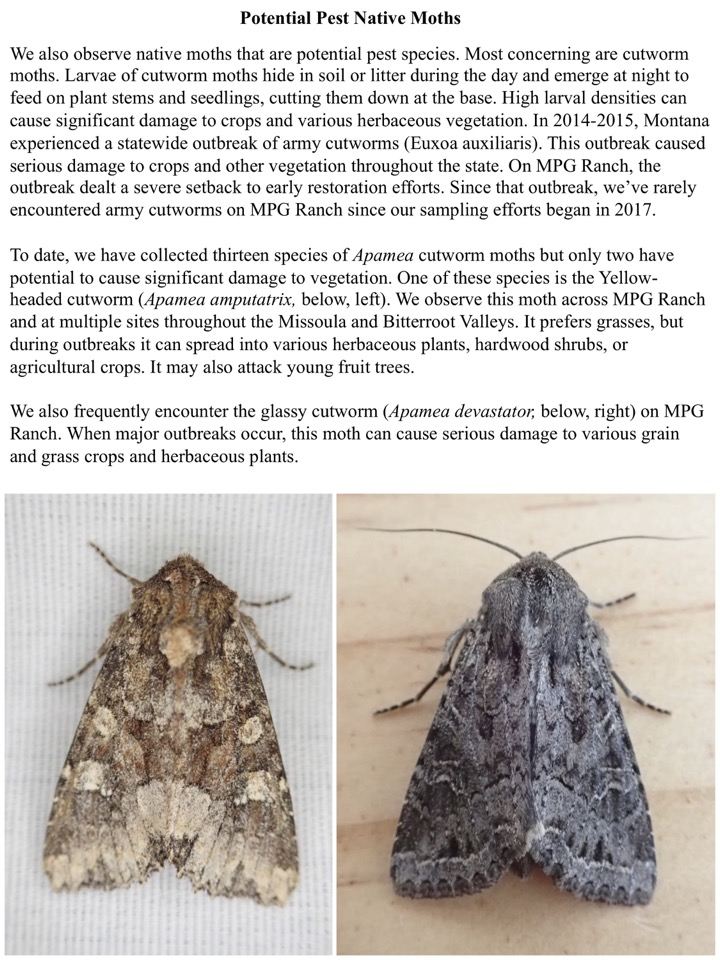 Potential Pest Native Moths