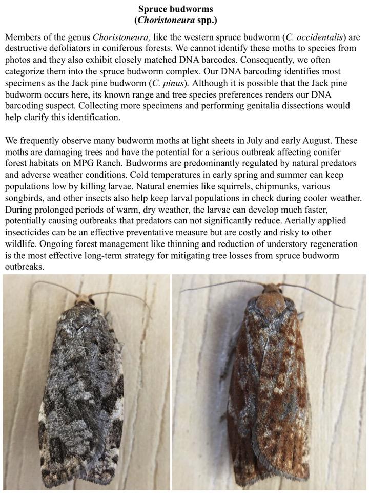 Spruce budworms