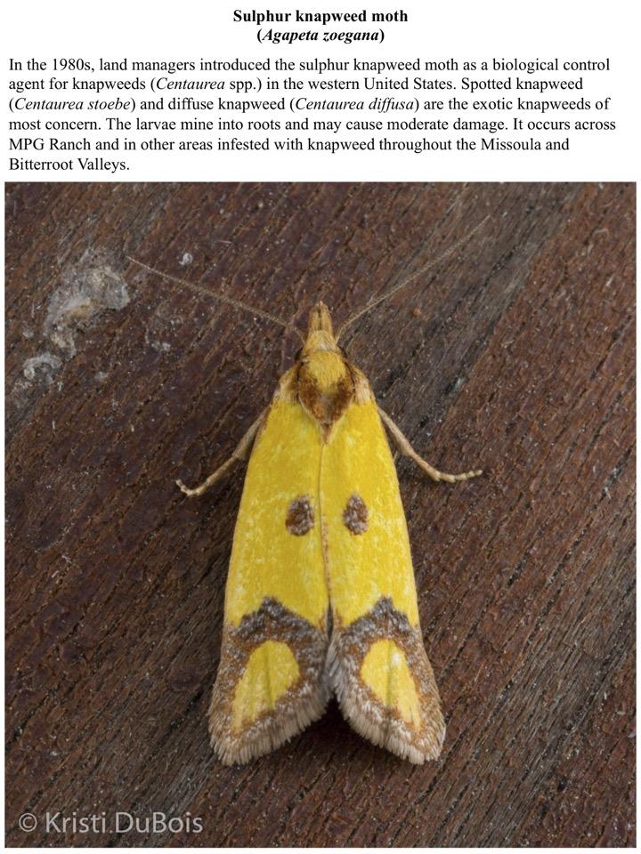 Sulphur knapweed moth