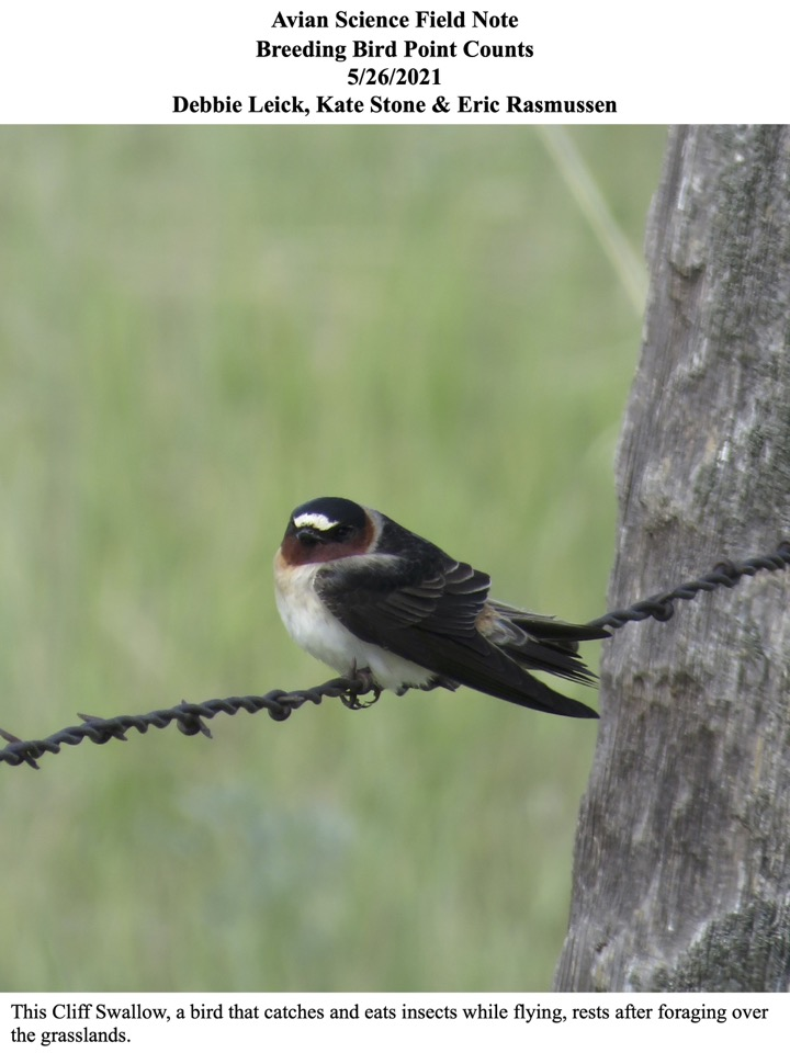 This Cliff Swallow, a bird that catches and eats insects while flying, rests after foraging over the grasslands.