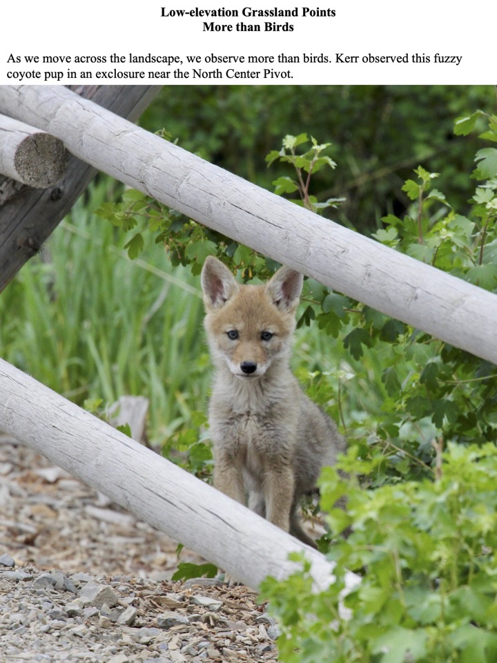 Kerr observed this fuzzy coyote pup in an exclosure near the North Center Pivot.