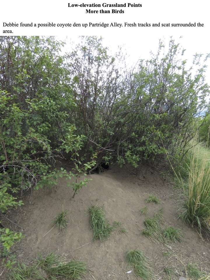 Debbie found a possible coyote den up Partridge Alley. Fresh tracks and scat surrounded the area.