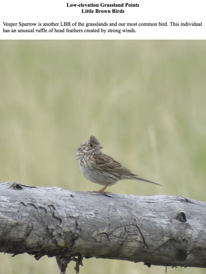 Vesper Sparrow is another LBB of the grasslands and our most common bird.