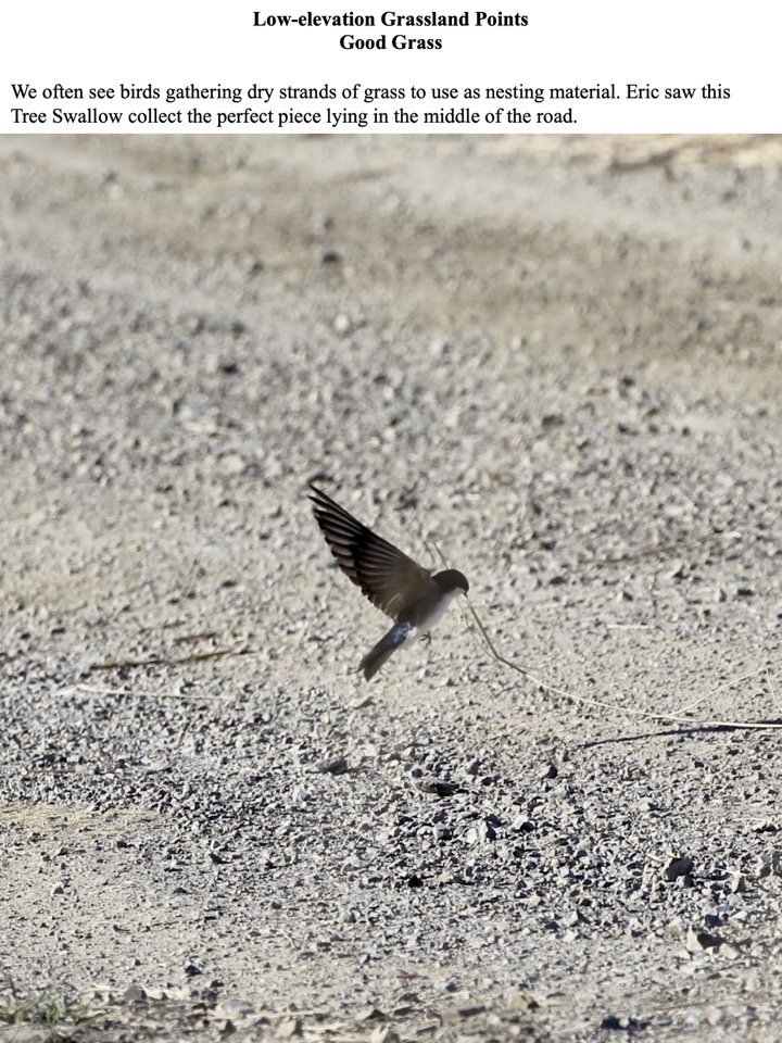 We often see birds gathering dry strands of grass to use as nesting material. Eric saw this Tree Swallow collect the perfect piece lying in the middle of the road.