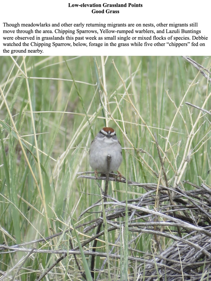 Chipping Sparrows, Yellow-rumped warblers, and Lazuli Buntings were observed in grasslands this past week as small single or mixed flocks of species.
