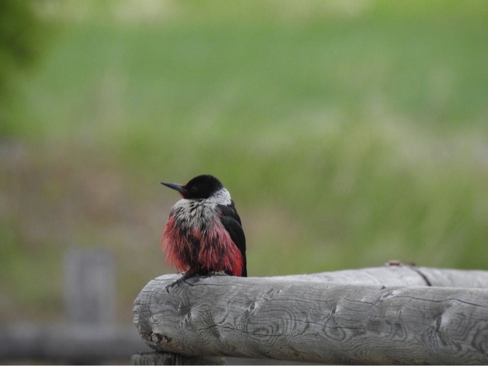 If you live in the Bitterroot Valley and are interested in joining our Lewis's Woodpecker suet feeder project, check out the recent article in the Ravalli Republic