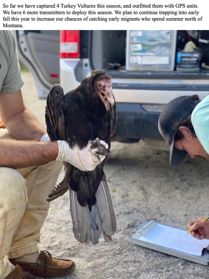 So far this season, we have captured four Turkey Vultures and outfitted them with GPS units.