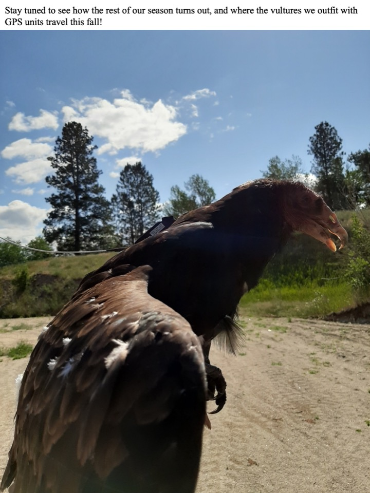 Stay tuned to see how the rest of our season turns out and where the vultures with GPS units travel this fall!