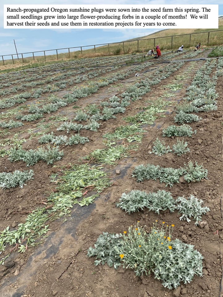 Ranch-propagated Oregon sunshine plugs were sown into the seed farm this spring.