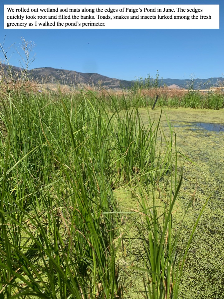 We rolled out wetland sod mats along the edges of Paige's Pond in June.