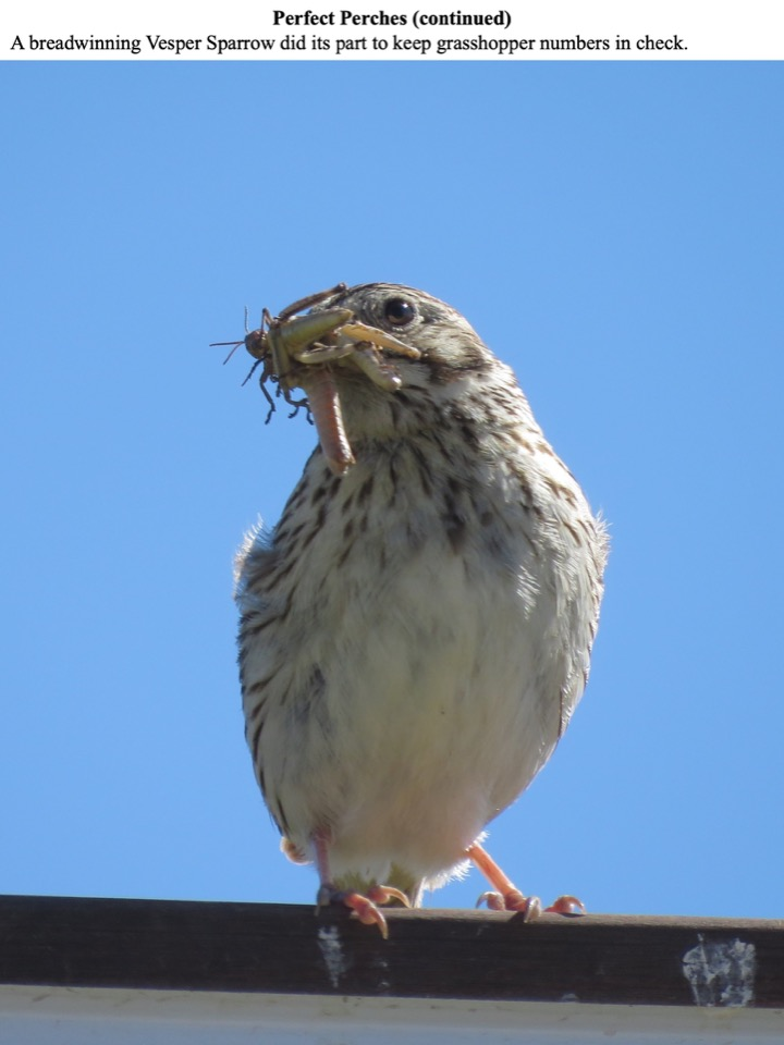 A breadwinning Vesper Sparrow did its part to keep grasshopper numbers in check.