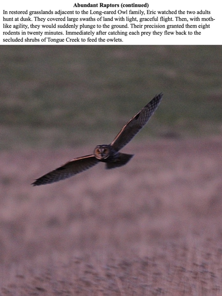 In restored grasslands adjacent to the Long-eared Owl family, Eric watched the two adults hunt at dusk.